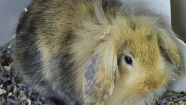 Donate: Sponsor our Therapy Rabbit Millie!
