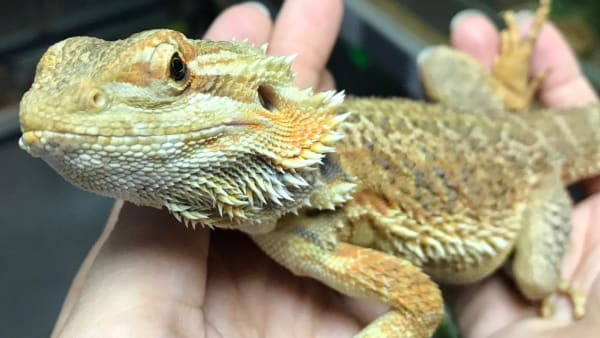 Donate: Sponsor our Therapy Bearded Dragon Georgie!